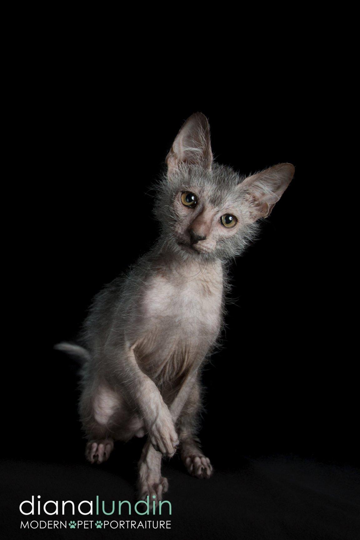 werewolf cat los angeles