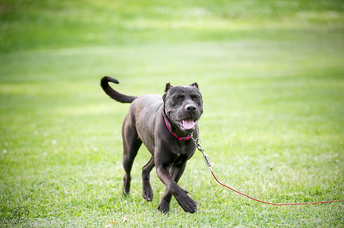 pit bull, animal rescue, rescue dog