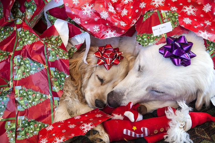two puppies pooped from opening christmas presents jim zuckerman photography