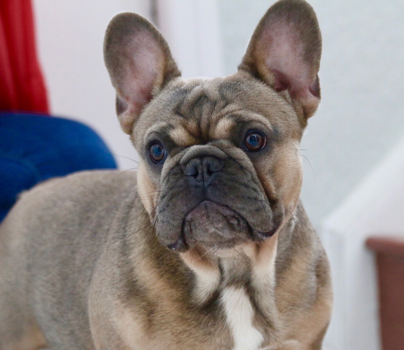 FarFalla Frenchies/Florida French bulldogs/Florida Frenchie